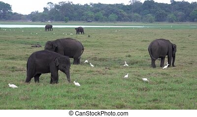 Baby Elephants Eat Grass With Egrets Around.