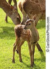 Close up of a baby Fallow Deer