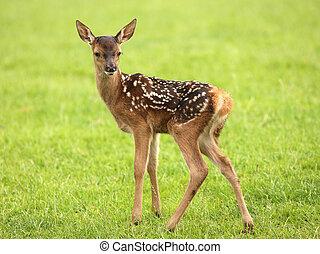 Baby Fallow Deer - Close up of a baby Fallow Deer