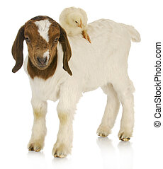 baby farm animals - one week old goat and chick on white...