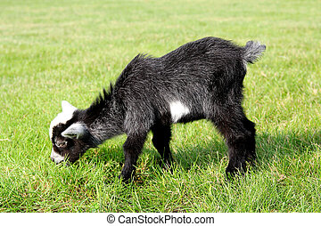 Baby Farm Goat Eating Grass