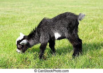 Baby Farm Goat Eating Grass