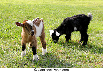 Baby Farm Goats Eating Grass - Two baby goats on a farm are...