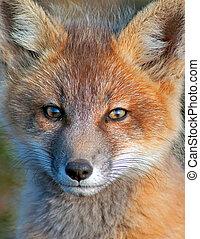 Baby Fox Face Shot
