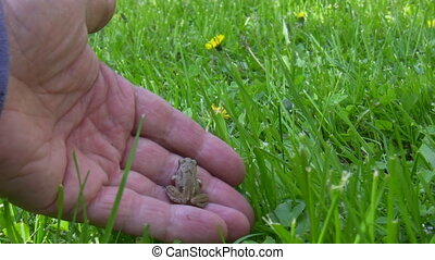 Baby frog back to natural habitat - Baby frog in the human...