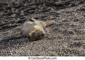 Baby Galapagos Sea Lion