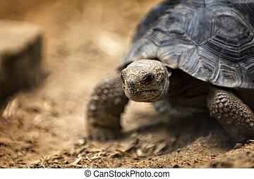 Baby Galapagos Tortoise - A baby Galapagos tortoise crawling...