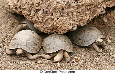 Baby Galapagos Tortoises at the Charles Darwin research...