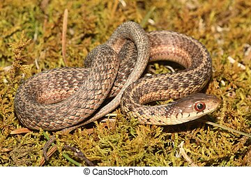 Baby Garter Snake (Thamnophis sirtalis)