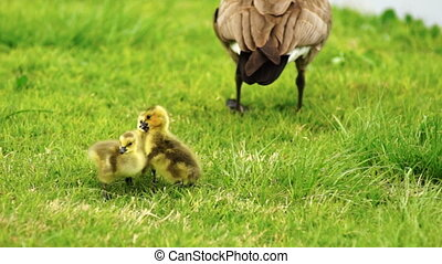 Mom stands close by as Goose Chick sublings peack at each other with beaks