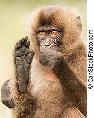 Baby Gelada monkey sitting with a foot up