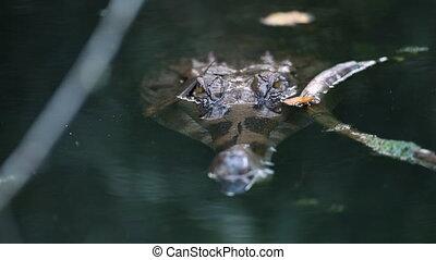 Baby Gharial Crocodile Attacking Prey, India - Close-up high...