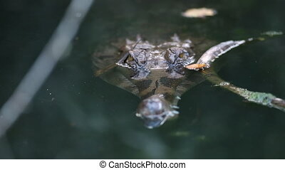 Baby Gharial Crocodile Lurking In Water, India - Close-up ...