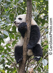 Baby Giant Panda resting in a tree Chengdu, China