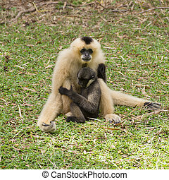 Baby Gibbon suckling from mother