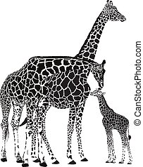 baby- giraffe, erwachsener, giraffen