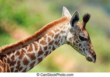 Baby giraffe - Portrait of young female giraffe in Tarangire...
