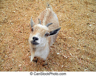 Baby Goat at Petting Zoo - Baby billy Goat with horns and a...
