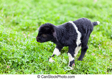 Baby goat in a grass field