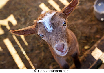 baby, goat, in, paddock