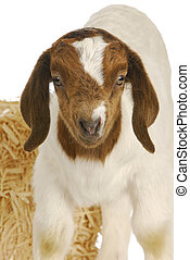 baby goat - south african boer kid - one week old