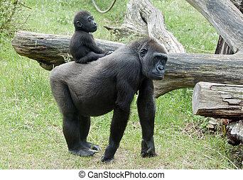 Baby gorilla - Baby Gorilla on back on mother