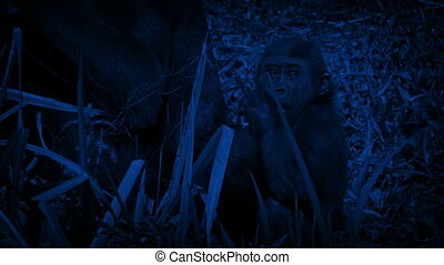 Baby Gorilla Eating By Mother At Night - Baby gorilla eats...