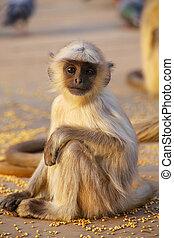 Baby gray langur sitting in Amber Fort near Jaipur, Rajasthan, India