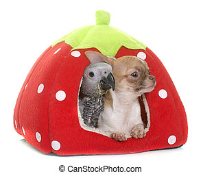 baby gray parrot and chihuahua