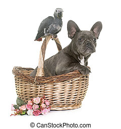 baby gray parrot and puppy bulldog