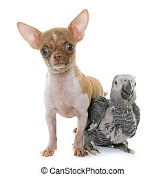 baby gray parrot and puppy chihuahua