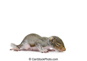 Baby Gray Squirrel with eyes closed on white background.