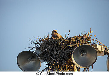Baby great horned owlet Bubo virginianus perches in its nest...