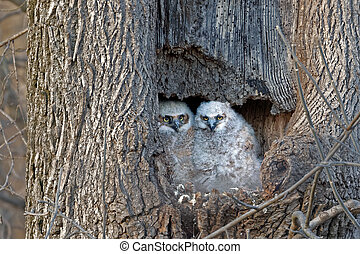 Baby Great Horned Owls Watching From Their Nest