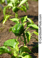 Baby Green Bell Pepper Plant