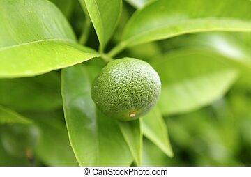baby green orange growing in tree