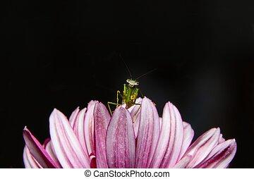 Baby green praying mantis on flower