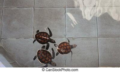 Baby green sea turtles swimming breeding center in Thailand