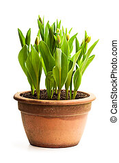 Baby green tulips in the pot isolated on white