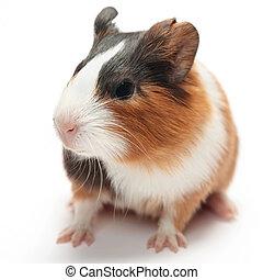 baby, guinea, weißes, schwein