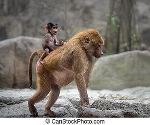 Baby Hamadryas baboon and its mom