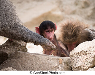 Baby hamadryas baboon or papio hamadryas