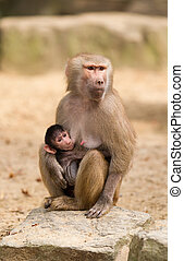 Baby hamadryas baboon with mother
