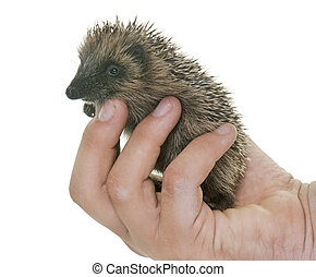 baby hedgehog in hand