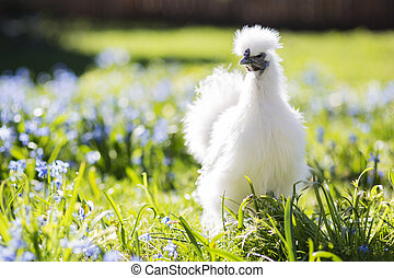 Baby hen hiding in the grass - Little silkie chicken looks...
