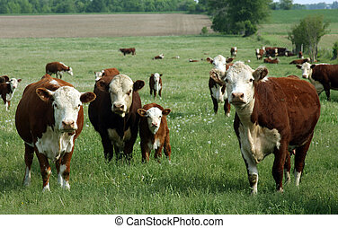 baby hereford calf with mother and herd on a green pasture