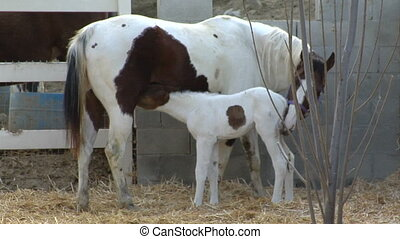 baby horse nurses - A cute little Foal, just 1 day old...