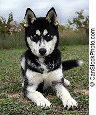 baby husky - puppy purebreed siberian husky