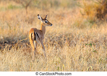 Baby impala following the mother - Baby impala in savannah