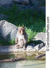 Japanese Macaque Sitting Quietly